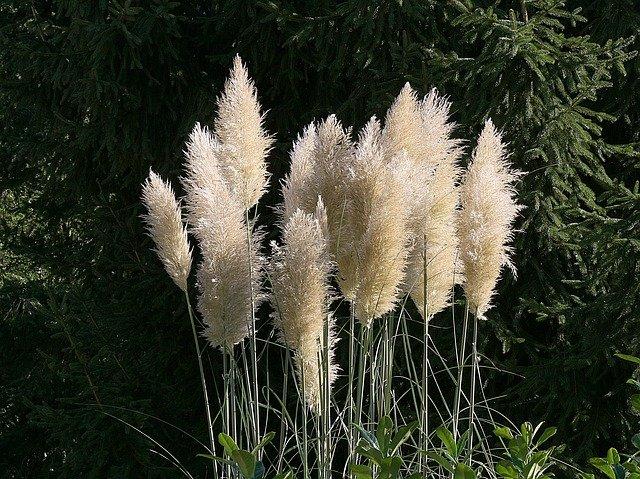 pampy trávy